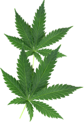 MA Medical Marijuana Leaf